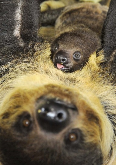 A two-month-old sloth rests on the stomach of its mother Charlotte at the zoo in Halle, center Germany. The zoo which was founded 111 years ago, has had a record on breeding habits of sloths since 1996. (Waltraud Grubitzsch/Getty Images)