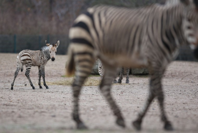 Baby mountain zebra 'Mira' (L) stand in her enclosure at the Tierpark zoo in Berlin. The baby zebra was born on November 11, 2012 at the zoo. (Florian Schuh/AFP/Getty Images)