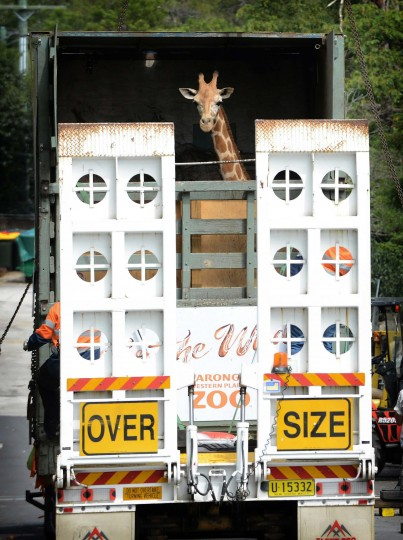 Kitoto, a two-year-old female giraffe arrives in a crate on a trailer at Taronga zoo in Sydney on November 8, 2012. Kitoto who arrived from Taronga Western Plains zoo will share an exhibit with a male and two female giraffes to help maintain the herd structure at Taronga zoo.(Roslan Rahman/Getty Images)