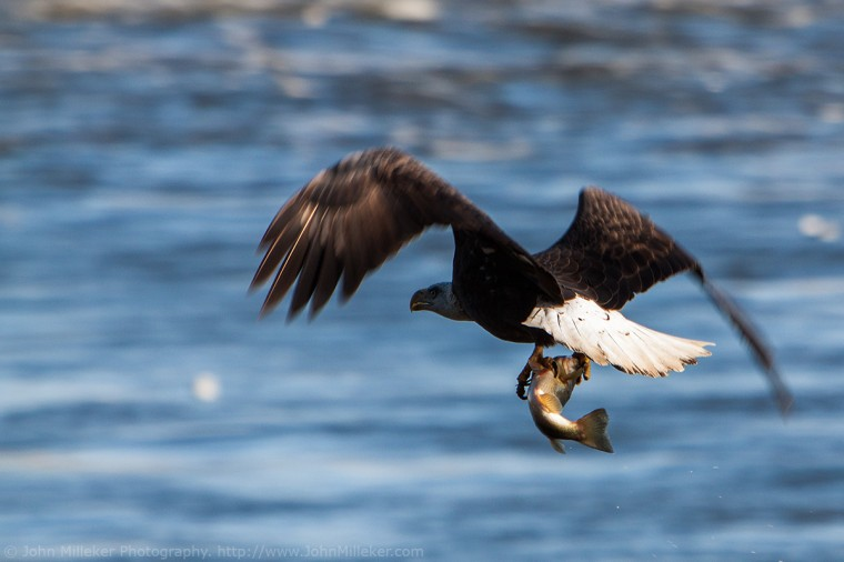 Conowingo Eagle: Conowingo Dam is a great place to photograph Bald Eagles in the winter months. Make sure to pack warm and take the longest lens you have.