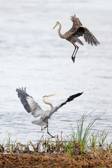 Heron Dance: Blackwater and Black Hook NWR's are within driving distance of Baltimore and offer great photo opportunities like this one. Every season brings something new, be sure to research what you can expect before just driving to a refuge. Get there early!