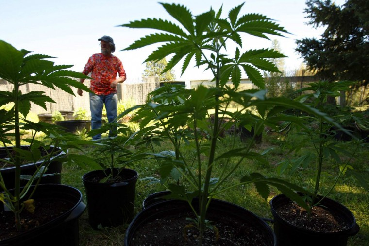 May 8, 2012: Tom Evans, a small time grower in northern Mendocino, California, is framed by some of his marijuana plants that rest in pots in the backyard of his small rented home. 'It used to be a contest to see who could drive the oldest pick-up truck,' Evans said. 'There's just been this huge influx of folks who have money on their mind, instead of love of the land.' (Genaro Molina/Los Angeles Times/MCT)