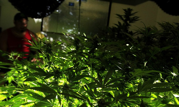 July 30, 2012: Ricky tends to his indoor marijuana growing operation in an apartment in Southern California. Ricky formerly owned a medical marijuana dispensary but was forced back to the black market after a federal crackdown resulted in the closure of his business. (Luis Sinco/Los Angeles Times/MCT)