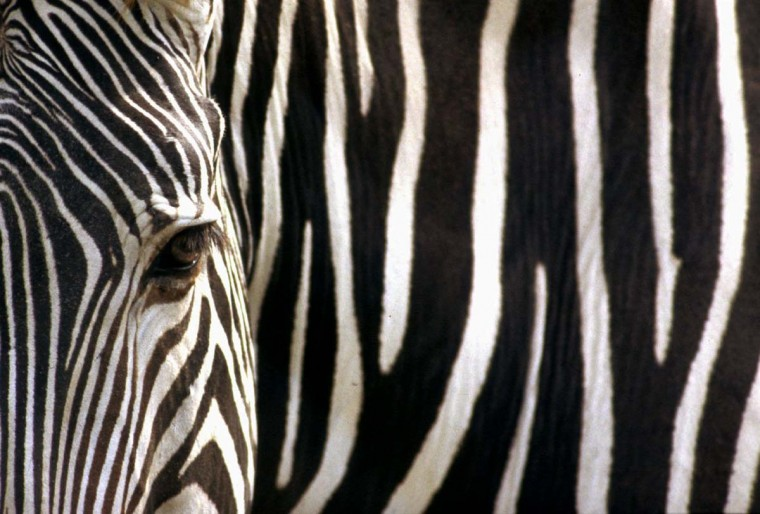 The stripes of a Grevy's zebra, also known as the imperial zebra, appear as a form of nature's art. The species, now found mostly in northern Kenya, is considered endangered. (Jeffrey F. Bill/Baltimore Sun)