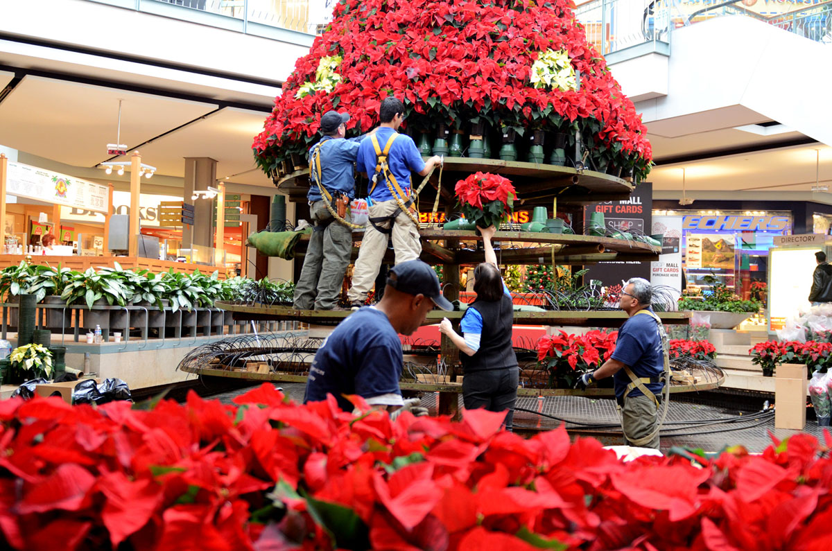 Time lapse shows construction of poinsettia tree at the Mall in Columbia