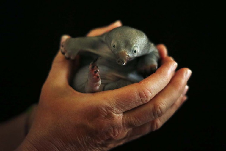Bo, a 55-day-old baby Echidna known as a puggle, rests in the hands of vet nurse Annabelle Sehlmeier at Taronga Zoo in Sydney. The puggle was bought to the zoo after it being found by itself on a walking track north of Sydney and will be fed by hand until it is weaned at about six months of age. (Tim Wimborne/Reuters photo)
