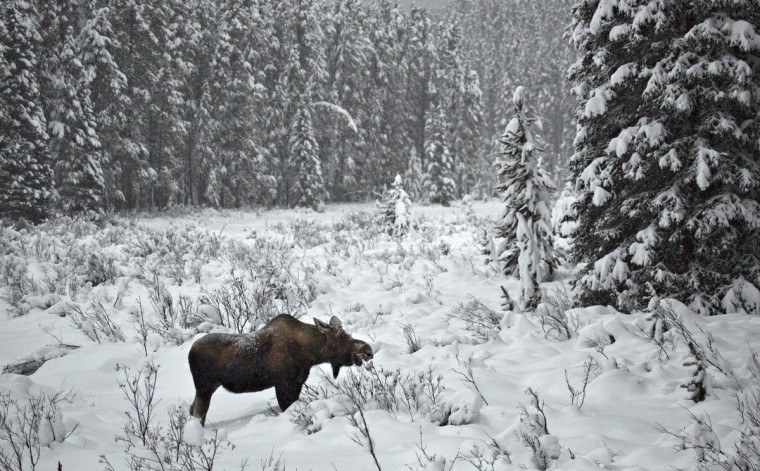 A female moose feeds in a meadow in Banff National Park near Lake Louise, Alberta. (Andy Clark/Reuters)