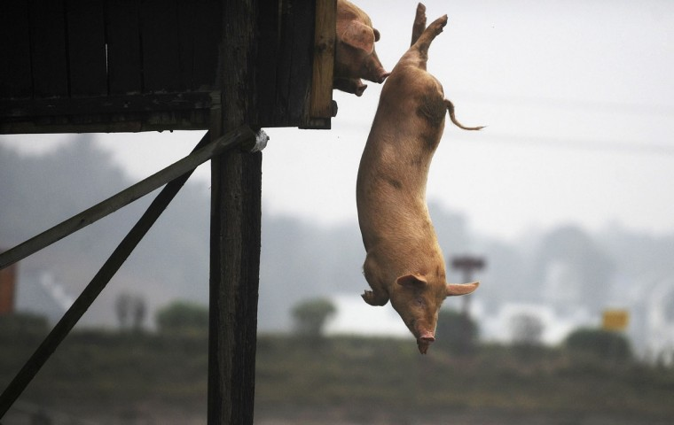 A pig dives into the water in Ningxiang county, Hunan province November 15, 2012. Villager Huang Demin drives his pigs to dive into the water from a 3-metre-high platform at least once a day, believing that the diving exercises would improve the quality and taste of the meat. He would later sell the meat of his pigs at three times higher than market prices, local media reported. (Stringer/Reuters)