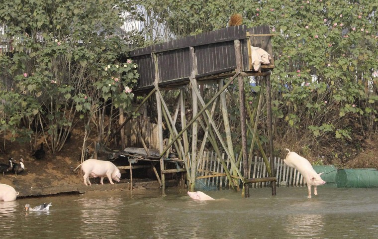 A pig dives into the water in Ningxiang county, Hunan province November 11, 2012. Villager Huang Demin drives his pigs to dive into the water from a 3-metre-high platform at least once a day, believing that the diving exercises would improve the quality and taste of the meat. He would later sell the meat of his pigs at three times higher than market prices, local media reported. (Stringer/Reuters)