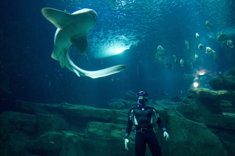 "French diver Pierre Frolla, a four-time apnea diving world champion, swims with sharks after a projection of the film ""In the eyes of sharks"" (Dans les Yeux des requins) at the Aquarium of Paris November 11, 2012. (Gonzalo Fuentes/Reuters)"