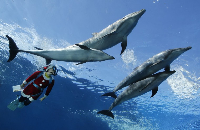 A diver dressed as Santa Claus swims with dolphins at Hakkeijima Sea Paradise in Yokohama, south of Tokyo. The underwater feeding session involving divers dressed as Santa will take place every day until Christmas Day. (Yuriko Nakao/Reuters)