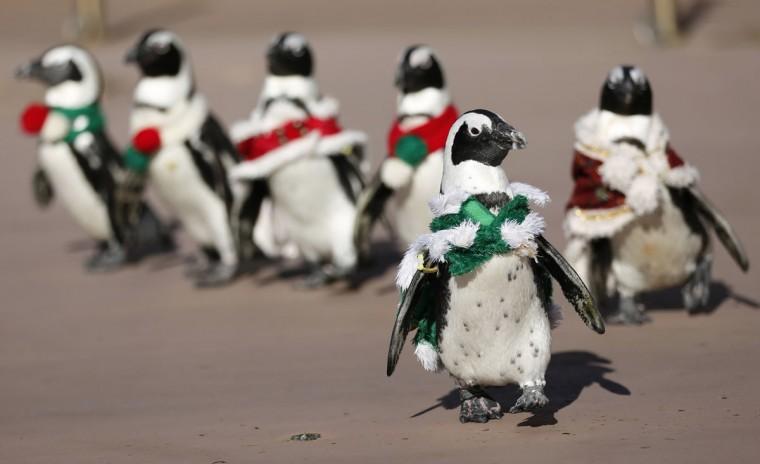 Penguins clad in Christmas-themed outfits walk during an event at Hakkeijima Sea Paradise in Yokohama, south of Tokyo. (Yuriko Nakao/Reuters)