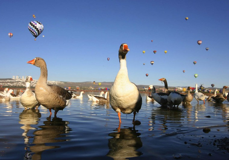 Hot air balloons fly over Metropolitano park as ducks move during the International Hot-Air Balloon Festival in Leon, in the Mexican state of Guanajuato. (Mario Armas /Reuters)