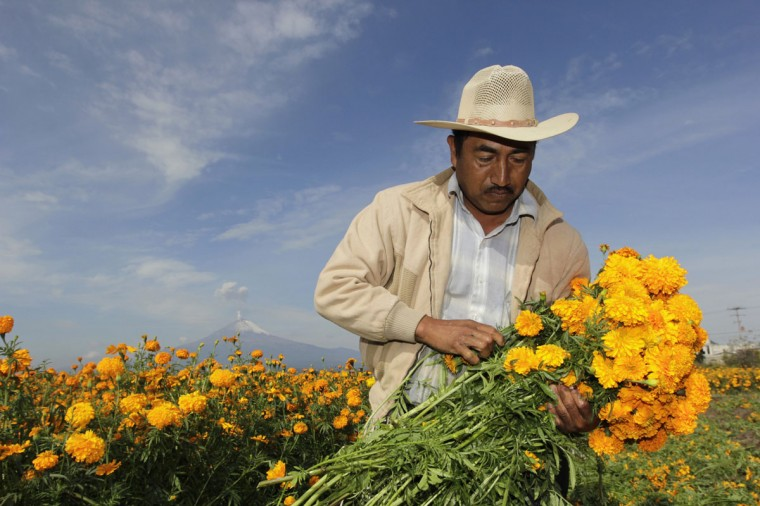 A worker harvests Cempasuchil marigolds for use during Mexico's Day of the Dead celebrations, in San Pedro Cholula October 29, 2012. The Cempasuchil flower, also known as the Flower of the Dead, is traditionally used on altars in honour of the deceased and to decorate graves on the Day of the Dead observance which begins November 1 and ends on November 2. The Popocatepetl volcano is seen at rear. (Imelda Medina/Reuters)