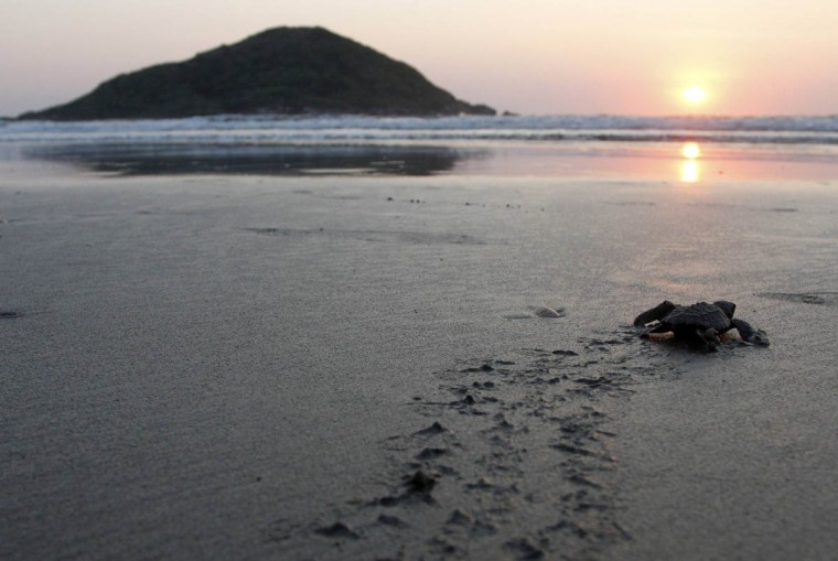 An Olive ridley turtle hatchling crawls to the ocean after being released by tourists in Mazatlan
