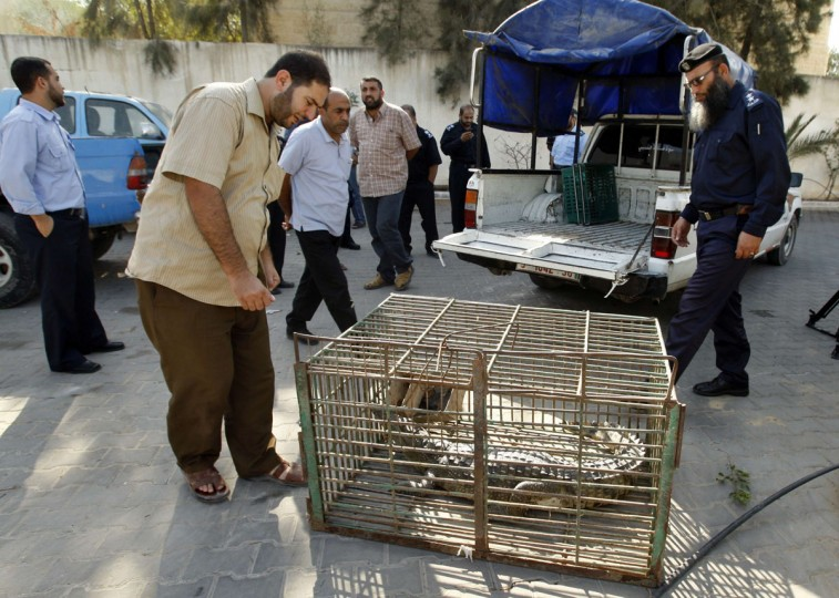 Palestinians look at a crocodile in a cage at a Hamas police station in the northern Gaza Strip. A crocodile on the run from a Gaza zoo for the past 18 months has finally been captured, police said on Tuesday.The 1.8 metre (6 foot)-long reptile was spotted several weeks ago in sewage pools in the northern Gaza Strip, and villagers complained he had been eating their livestock. Police called in fishermen, who netted the crocodile on Monday. (Ahmed Zakot/Reuters)