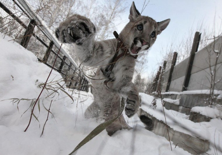 Ice, a 5-month-old North American Puma female cub, plays in the snow at the Royev Ruchey zoo in a surburb of Russia's Siberian city of Krasnoyarsk. (Ilya Naymushin/Reuters)