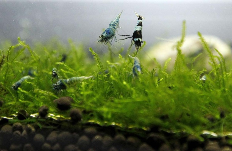 Blue bolt shrimps (Caridina Cantonensis) are displayed during a news conference before the 2012 Taiwan International Aquarium Expo in Taipei November 5, 2012. Blue bolt shrimp raised in Taiwan are selling for as much as NTD $100,000 (about USD $3,420) a piece to overseas collectors, according to the aquarium owner. (Pichi Chuang/Reuters)
