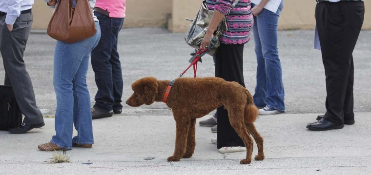 MIAMI, FL: A dog accompanies a voter as people wait in line to vote at a fire station near downtown during the U.S. presidential election in Miami, Florida, November 6, 2012. (Andrew Innerarity/Reuters)