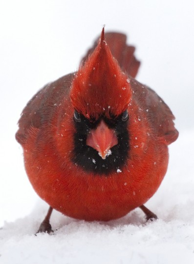 "The winner for this week's Reader SunShots series ""All Creatures..."" goes to Kevin Moore for his picture titled ""Ticked-off Cardinal."" The photographer took the picture last winter with a Canon EOS 50D. Here is a critique by Baltimore Sun senior photo editor Jerry Jackson: ""Moore's photo could have easily been a contender for next week's category ""Seeing Red,"" with a double meaning as this cardinal looks like one angry bird. I love the humor of this photo. The focus is tack sharp and the photographer did a great job exposing for the bird and letting the background go white. Most cameras would tend to turn this into a silhouette."""