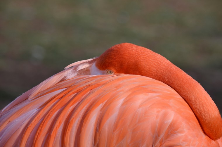 "Doris Rafaeli is the winner of this week's Reader Sunshots category, ""Trip to the Zoo"" with her photo of a Caribbean flamingo taken at the Philadelphia Zoo on a chilly day last January. The picture was taken with a Nikon D5100 camera with a 55-300mm lens. Here is a critique from Baltimore Sun photo editor Jerry Jackson: "" The challenge with zoo photography is making an image that is unique and not cluttered with bars or glass. Doris accomplishes both with her abstract flamingo photo. Using a long focal length kept the bird in sharp focus while softening the background."""
