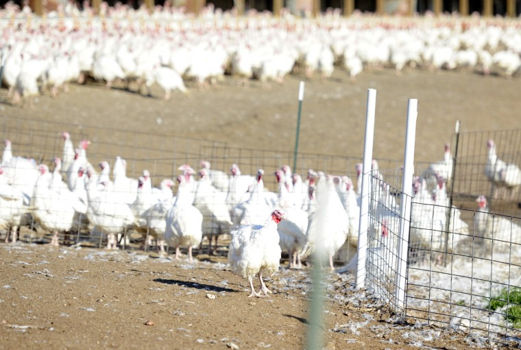 Thousands of turkeys wander in the large outdoor pen at Maple Lawn Farms in Fulton. Within a few weeks, they will all be processed and on dinner tables around Howard County and beyond. (Jon Sham/Baltimore Sun Media Group)