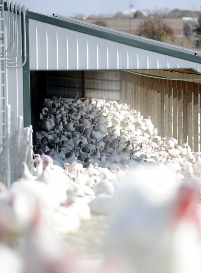Maple Lawn has approximately 20,000 turkeys on the farm. They are brought in in June or July when they are very young - in some cases only a day old. (Jon Sham/Baltimore Sun Media Group)