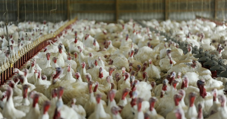 Thousands of turkeys pack into a barn structure at Maple Lawn Farms. (Jon Sham/Baltimore Sun Media Group)