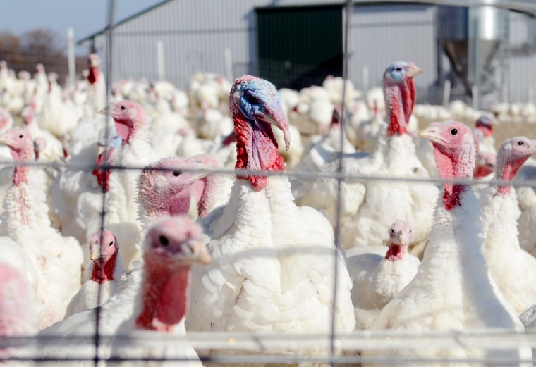 Turkeys mingle and meander on the Maple Lawn farm. (Jon Sham/Baltimore Sun Media Group)