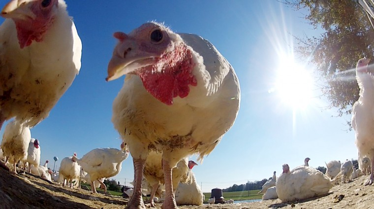 A curious turkey approaches the GoPro camera placed inside the pen. (Jon Sham/Baltimore Sun Media Group)