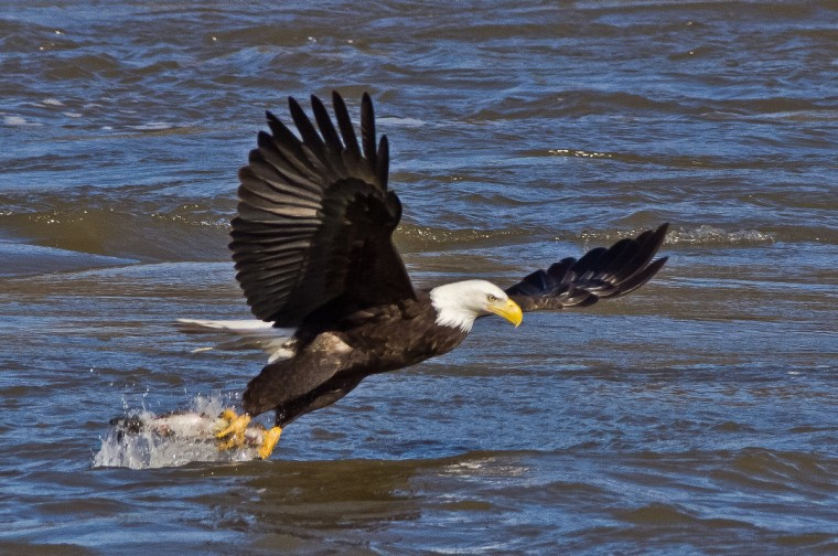 "The winner of this week's SunShots series ""Taking Flight"" goes to Offie Clark for a picture of a bald eagle taken at Susquehanna State Park. Clark used a Olympus E-5 camera with a 300mm lens combined with a teleconverter. Here is a critique from Baltimore Sun director of photography Robert Hamilton. ""The timing could not have been better on this picture. The image was made just as the eagle snatched it's meal from the water. The photographer stated that he used a tripod when shooting this picture, which was an excellent idea. When shooting with a long lens, it's always good to stabilize the camera and increase your odds of getting your subject in focus."""