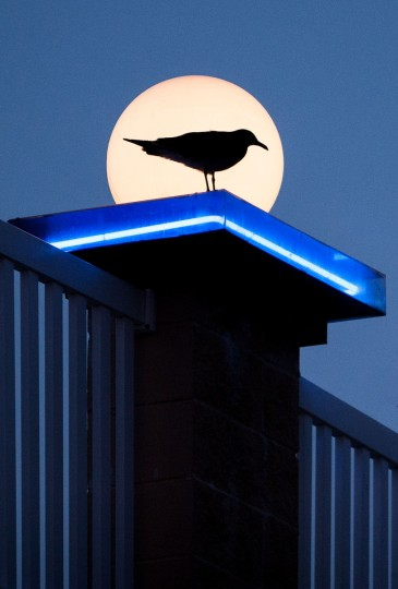 "The winner for this week's Reader SunShot series ""Neon"" is John Milleker, Jr. for his picture in Ocean City of a seagull perched on a neon roof silhouetted by a globe light. The photographer shot this picture with Canon 20D with a telephoto zoom lens. Here is a critic from director of photography Robert Hamilton. ""I really like the clean composition of this picture. The geometric lines and shapes all work together and silhouetting the bird gives it an extra added dimension ."""