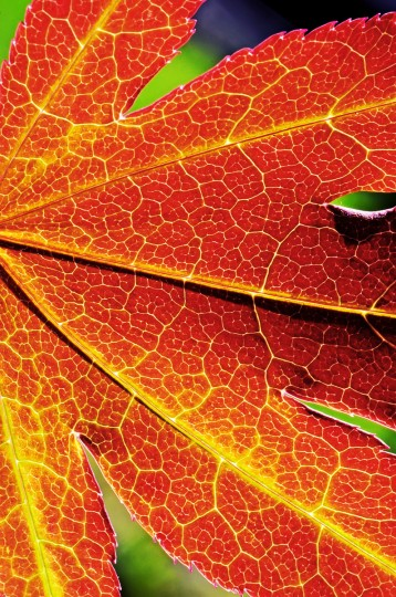 """The winner of this week's Reader SunShot series """"Textures"""" goes to Christen Surguy-Schultheis for her picture of a backlit maple tree leaf shot early one morning with her Nikon D90 with a Tamron 60mm macro lens. Here is a critique by Baltimore Sun director of photography Robert Hamilton. """"The colors and textures on this picture are incredible. The photographer did a nice job of composing the image. It's close enough to accentuate all the veins in the leaf, but not so tight you loose a sense of the subject matter."""""""