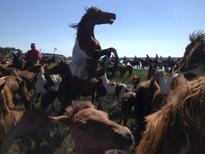 "A stallion rears to protect his herd as several bands share a pen. The ponies are regaining their strength following a grueling swim through Assateague Channel in the 87th annual Chincoteague Pony swim. The swim was made famous by Marguerite Henry's book ""Misty of Chincoteague"". (Karl Merton Ferron/Baltimore Sun)"