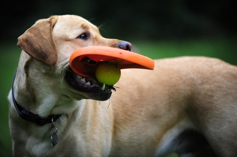 Hemi Orange Parsons is a two-year-old English Labrador owned by Allie & Dave Parsons of Reisterstown. The uber-friendly dog likes dual-lap time on a couch with the owners, and a mouth stuffed with toys. (Christopher T. Assaf/Baltimore Sun)
