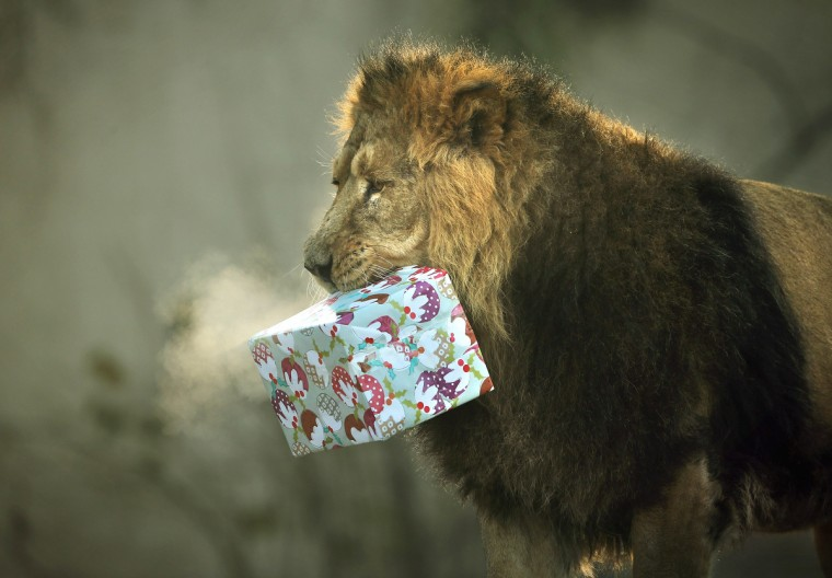 Lucifer the lion holds a Christmas present in his mouth at ZSL London Zoo in London, England. Keepers at the zoo gave the some of the animals Christmas presents containing festive treats during a photocall at London Zoo. (Dan Kitwood/Getty Images)