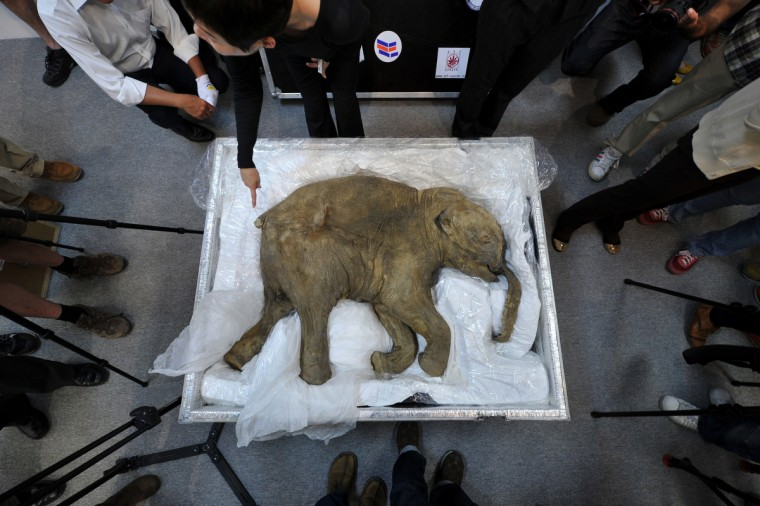 The carcass of the world's most well-preserved baby mammoth, named Lyuba, is displayed in Hong Kong on April 10, 2012. Lyuba, whose carcass is 42 thousand years old was found by a reindeer herder in Yamal Peninsula in Russia on 2007. She will be exhibited at IFC Mall in Hong Kong on April 12, 2012. (Aaron Tam/Getty Images)