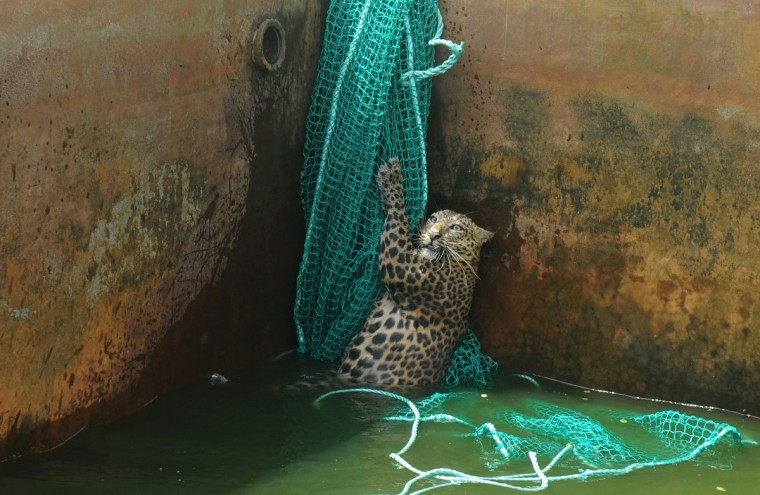 A fully grown male wild leopard climbs a net after it fell into a water reservoir tank at a tea estate in Haskhowa, some 45 kms from Siliguri, on June 20, 2012. The animal was rescued by the Sukna Forest rescue team from the Mahananda Wildlife sanctuary by lowering a ladder and a net into the tank. (Diptendu Dutta/Getty Images)