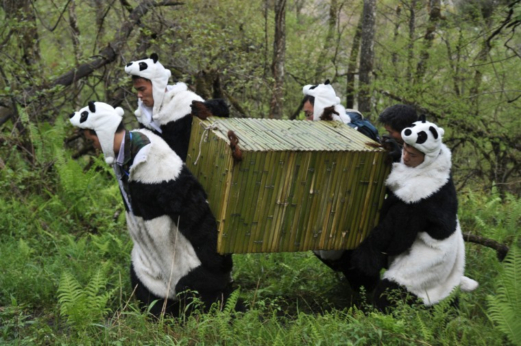 Workers wear panda costumes as they carry a box to transport Giant Pandas back to the wild, at the Wolong National Nature Reserve in Wolong, southwest China's Sichaun province on May 3, 2012. The bears will be left to fend for themselves to learn crucial survival skills, and scientists plan to gradually reduce human interactions until they can live in the wild without any assistance, and while there have already been 10 attempts at setting pandas free over the past 30 years, and only two are thought to have been successful as the bears find it very hard to survive on their own. (Getty Images)