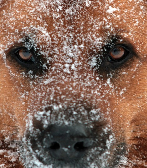 A dog has his face covered in snowflakes in Auetal, western Germany. Meteorologists forecast ongoing winter weather for the following days in the region. (Ole Spata/Getty Images)
