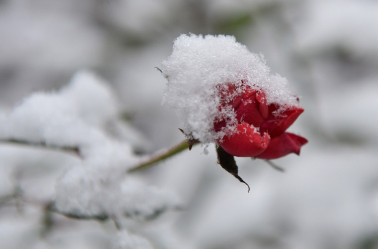 A rose is covered in snow in a garden in Bremen, northwestern Germany. (Carmen Jaspersen/Getty Images)