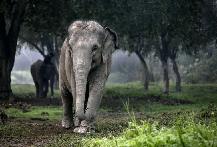 A Thai elephant walks in the jungle in the early morning fog at an elephant camp at the Anantara Golden Triangle resort in Golden Triangle, northern Thailand. Photo taken Dec. 9, 2012. (Paula Bronstein/Getty Images)