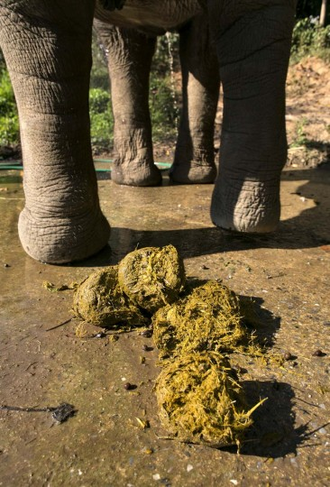 A Thai elephant is seen alongside dung filled with coffee beans at an elephant camp at the Anantara Golden Triangle resort on December 10, 2012 in Golden Triangle, northern Thailand. (Paula Bronstein/Getty Images)