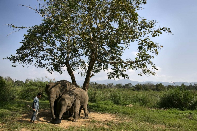 A mahout watches as elephants are fed a coffee bean mixture with fruit and rice at an elephant camp at the Anantara Golden Triangle resort on December 10, 2012 in Golden Triangle, northern Thailand. (Paula Bronstein/Getty Images)