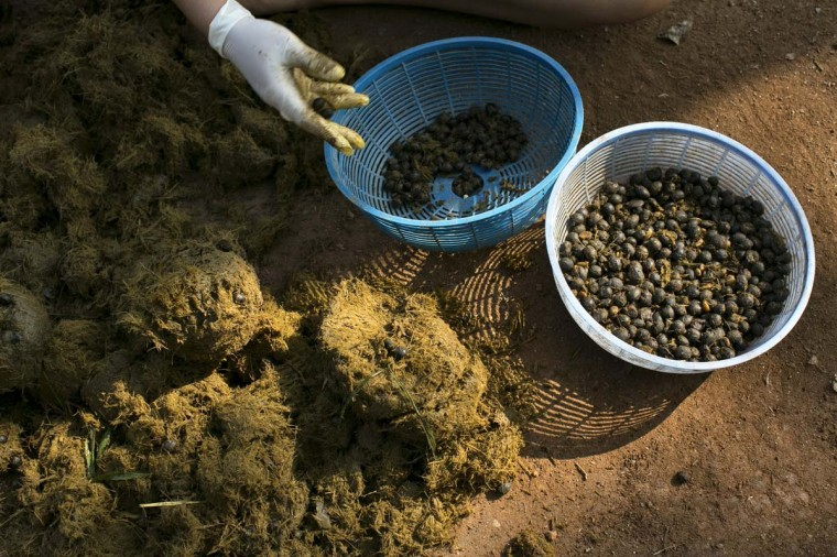 Mahout's wives pick out coffee beans from elephant dung at an elephant camp at the Anantara Golden Triangle resort on December 10, 2012 in Golden Triangle, northern Thailand. It takes about 15-30 hours for the elephant to digest the beans, and later they are plucked from their dung and washed and roasted. (Paula Bronstein/Getty Images)