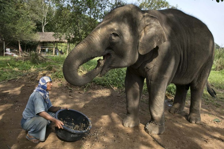Lun, a Thai mahout, serves a coffee bean mixture to an elephant at an elephant camp at the Anantara Golden Triangle resort on December 10, 2012 in Golden Triangle, northern Thailand. (Paula Bronstein/Getty Images)