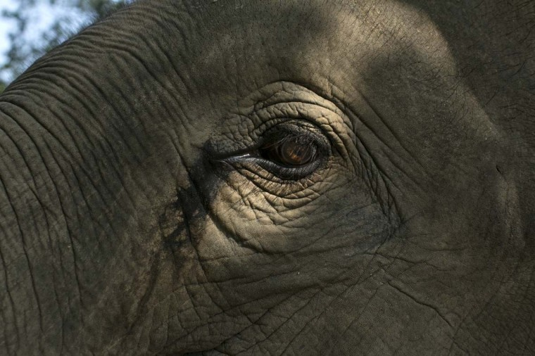 A Thai elephant's eye is caught by the sunlight at an elephant camp at the Anantara Golden Triangle resort on December 10, 2012 in Golden Triangle, northern Thailand. (Paula Bronstein/Getty Images)