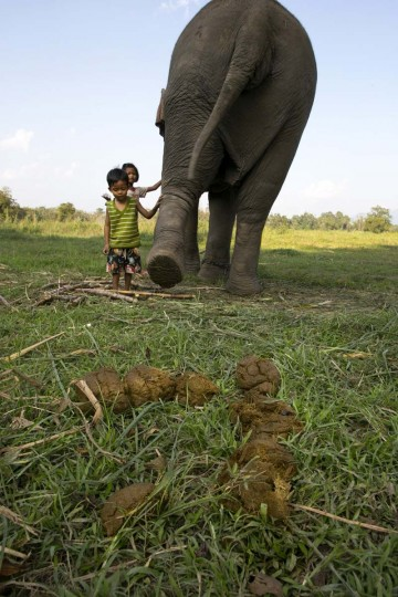 Black Ivory Coffee is created from a process whereby coffee beans are naturally refined by a Thai elephant. The children of a mahout play with an elephant next to elephant dung containing coffee beans at an elephant camp at the Anantara Golden Triangle resort on December 9, 2012 in Golden Triangle, northern Thailand. (Paula Bronstein/Getty Images)
