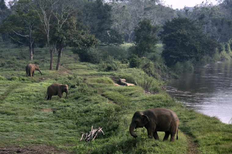 Thai elephants during an early morning graze at an elephant camp at the Anantara Golden Triangle resort December 10, 2012 in Golden Triangle, northern Thailand. (Paula Bronstein/Getty Images)
