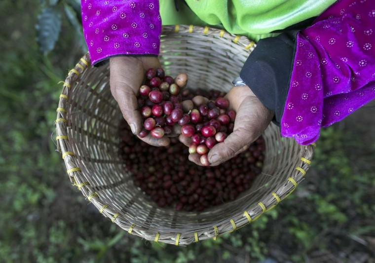 A member of the Lisu hill tribe picks Thai arabica coffee beans at the Thai High coffee farm on December 8, 2012 in Phrao, northern Thailand. About 33 kilograms of raw coffee cherries is needed to produce 1 kilo of Black Ivory Coffee. (Paula Bronstein/Getty Images)